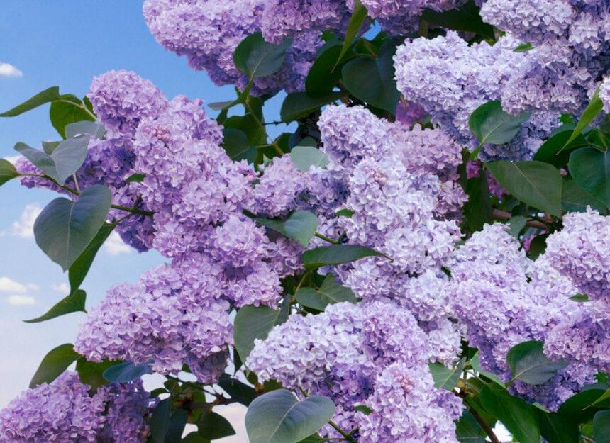 Frumoasa floare  de   liliac